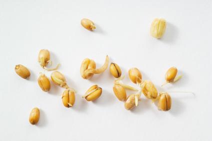 frische Weizenkeime