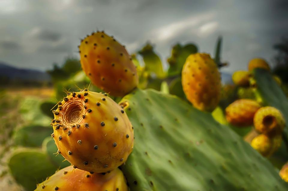 frische Kaktusfeigen