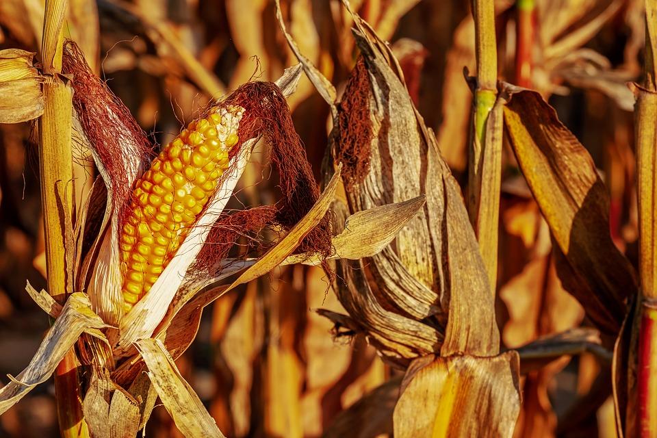 Mais für die Öl Gewinnung